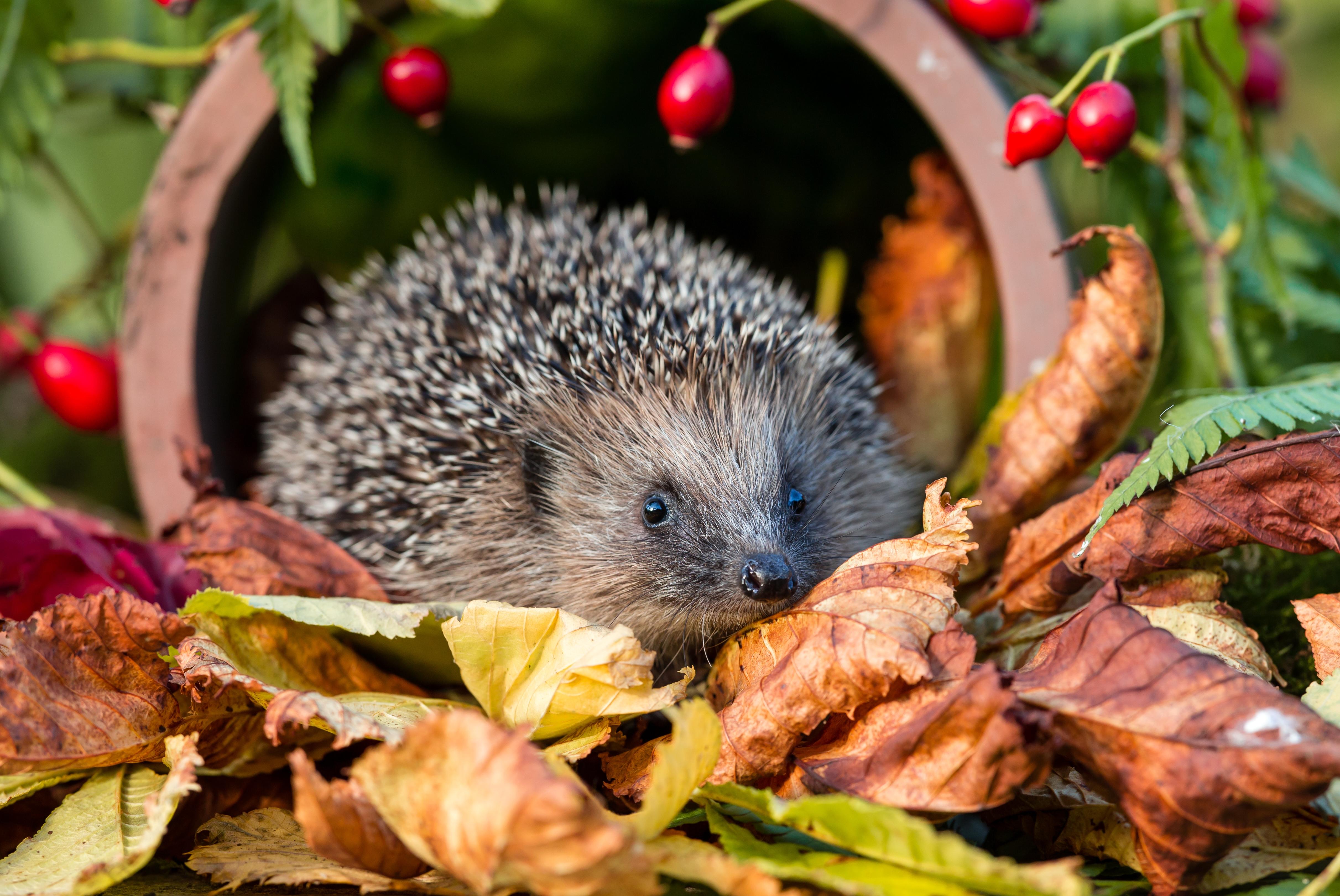 hedgehog cambridge garden