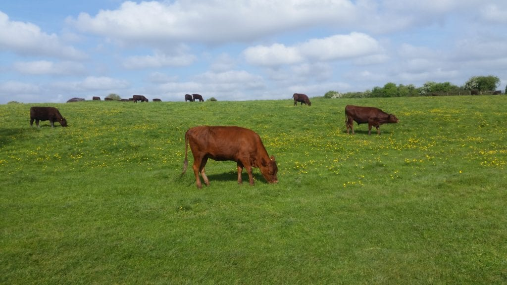 red poll in Grantchester Meadows
